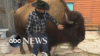Download This family lives with a bison called 'Wild Thing' inside their house 3Gp Mp4