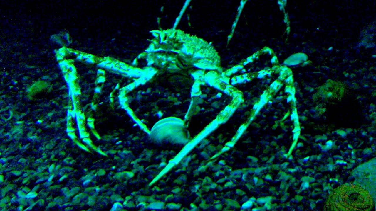 Japanese Spider Crab Eating a Person Japanese Spider Crab Eating