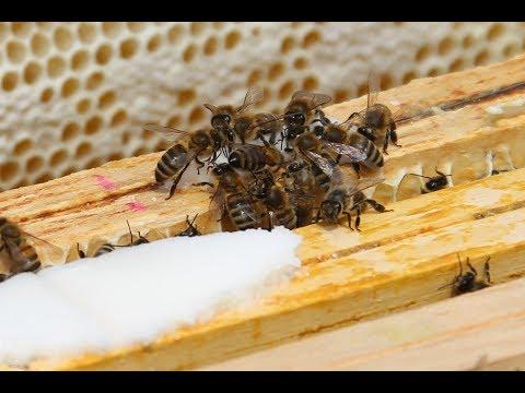 Pszczoły Zadomowiły Się W Krakowie