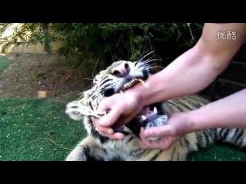 吓死寶寶了!實拍男子給老虎拔牙