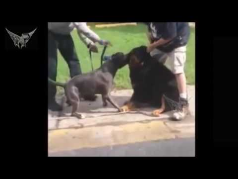 """pit bull vs owner The mother was feeding her daughter when the pit bull """"snapped"""" and if you are a non-pit bull fancier/owner stop whining about banning pit bulls and."""