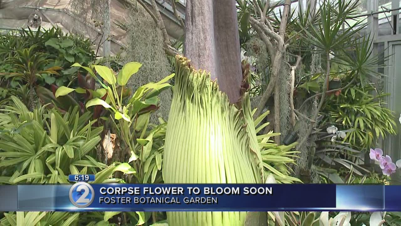 Rare Corpse Flower To Bloom At Foster Botanical Garden