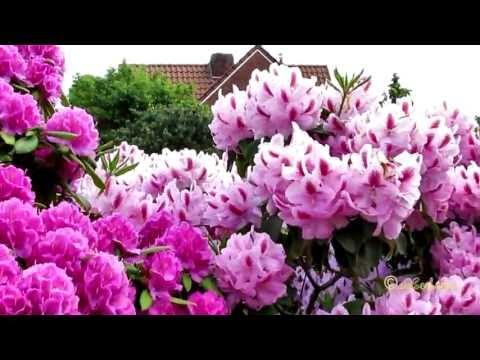 Rhododendron Garten