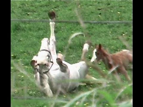 White Horse Appaloosa Colt foal Western Newborn