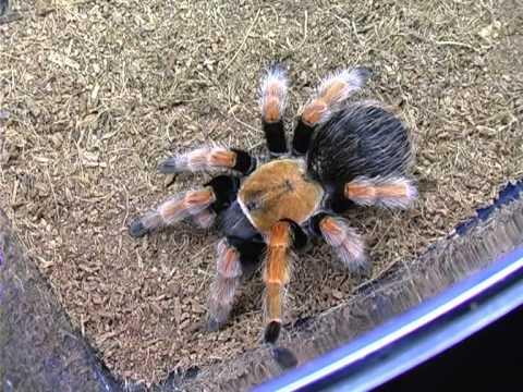 Разведение пауков домашних условиях