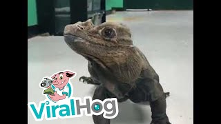 Rhino Iguana Roams the Halls || ViralHog