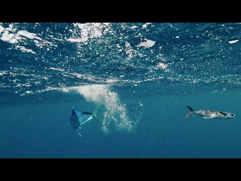 Flying fish hunt - The Hunt: Episode 4 preview - BBC One