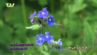 Gewone ossentong - Anchusa officinalis - Alkanet