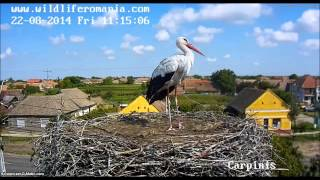 Wildlife Romania, Carpinis, 22 08 2014, 11 13  Adult Stork