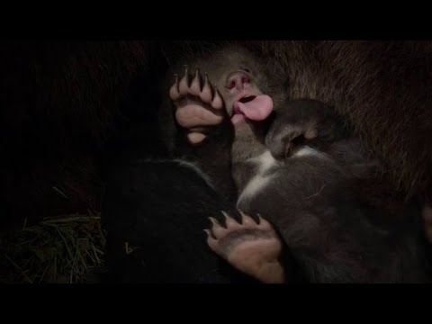 Рождение Медвежат The Birth Of Cubs
