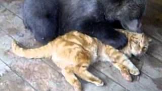 Osezno jugando con un gato como si fueran BFFs