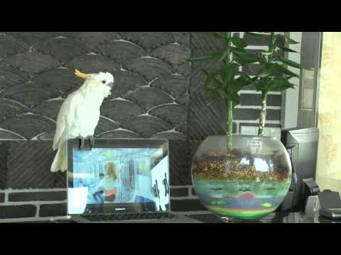 Crazy, and  amazing Parrot singing Gangnam style