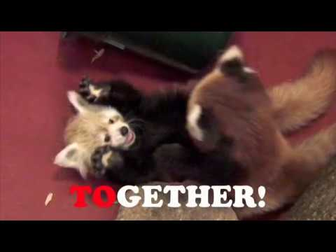 Red Panda Cubs, Vol. 1 Video
