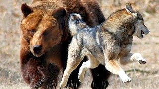 Manada de Lobos vs Oso Grizzly