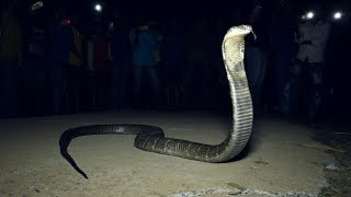 King Cobra Rescue and Release  In Odisha