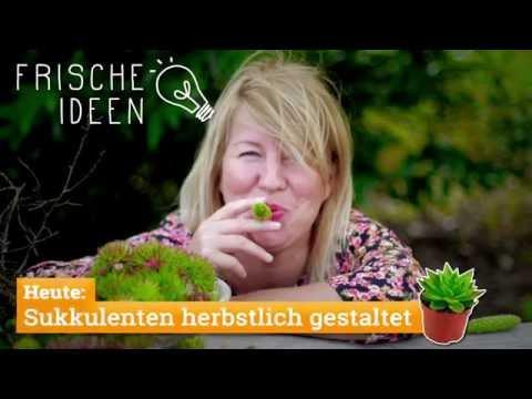 Sukkulenten herbstlich gestaltet mit grünen Kastanien und Zapfen
