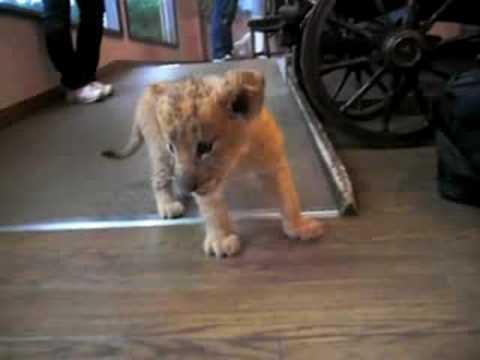 アフリカンサファリ 「ライオンの赤ちゃん・リリ」
