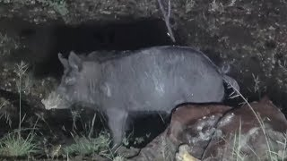 Three boars in a row off the one carcass