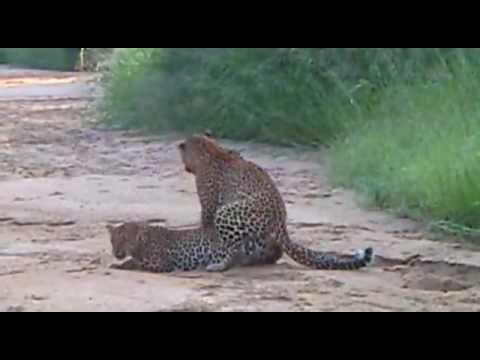 WILDlife: Leopards Mating - Big Cats in Africa thumbnail