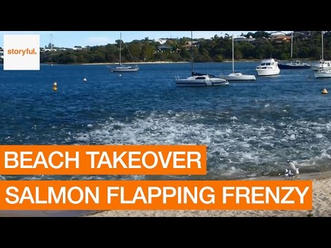 Salmon Flapping Frenzy Ejects Perth Paddle Boarders From Beach (Storyful, Crazy)
