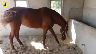 Great Sindhi horse