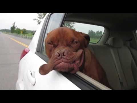 イカツイ犬が車に乗って唇がぶるぶるぱたぱた♪