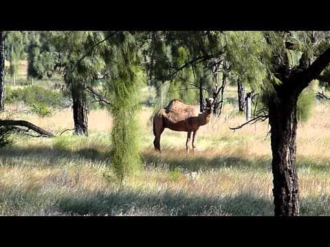 Feral Camel - Northern Territory Australia