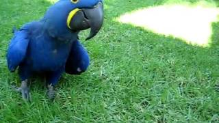 Blue Parrot (Hyacinth Macaw) chases girl
