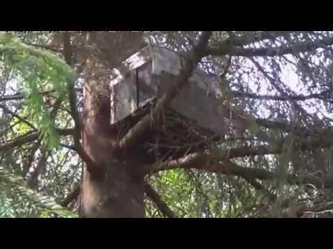 видео ловя диких роев
