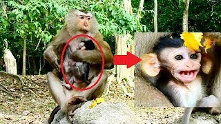 Pigtail monkey Cara bring Bellina climb high tree- Butter worry about her baby.World monkey.