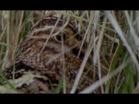 Ground Nesting Birds video