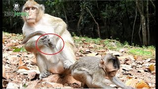 Supper kidnapper drag baby monkey Charles,bad female monkey steal baby