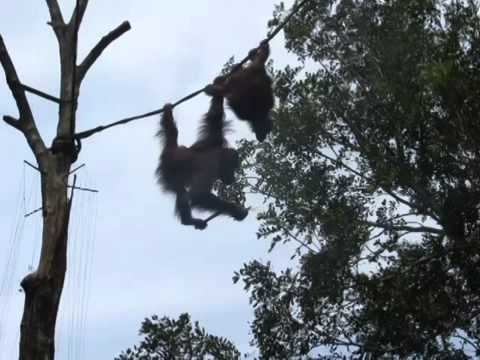 orangutan overhead and free to roam  Top ten10@animal