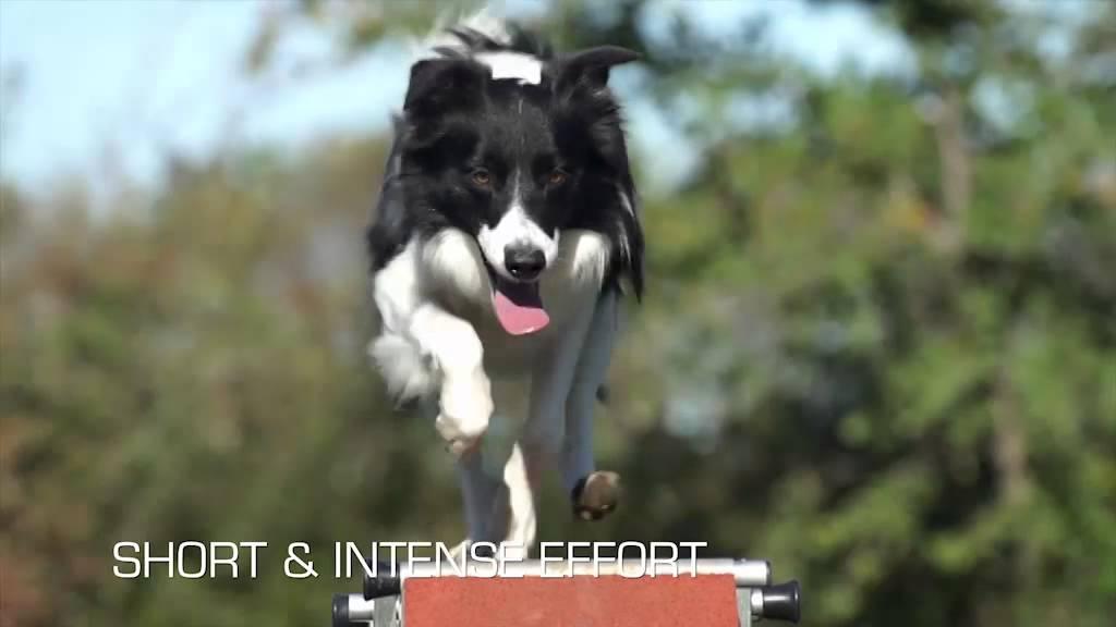 Корм royal canin sporting life agility 4100
