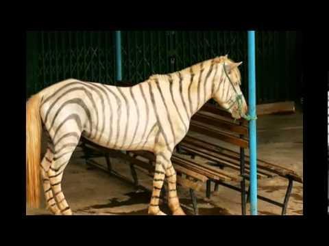 Zebroid/Zedonk/Zorses/Zebra mule/Zonkey/Zebrule