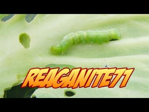Holes in Your Vegetables? How to Stop the Cabbage & Tomato Horn Worm Pests Organically