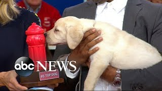 Labrador retrievers revealed as the most popular dog breed in 2017