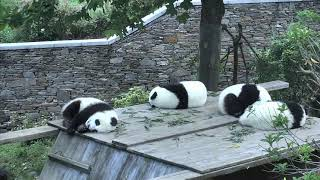 Happiness Village Baby Panda Park 07-28-2018 22:30:31 - 23:30:30
