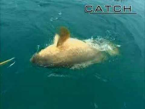 Big Game Fishing: 400 pound fish KO man