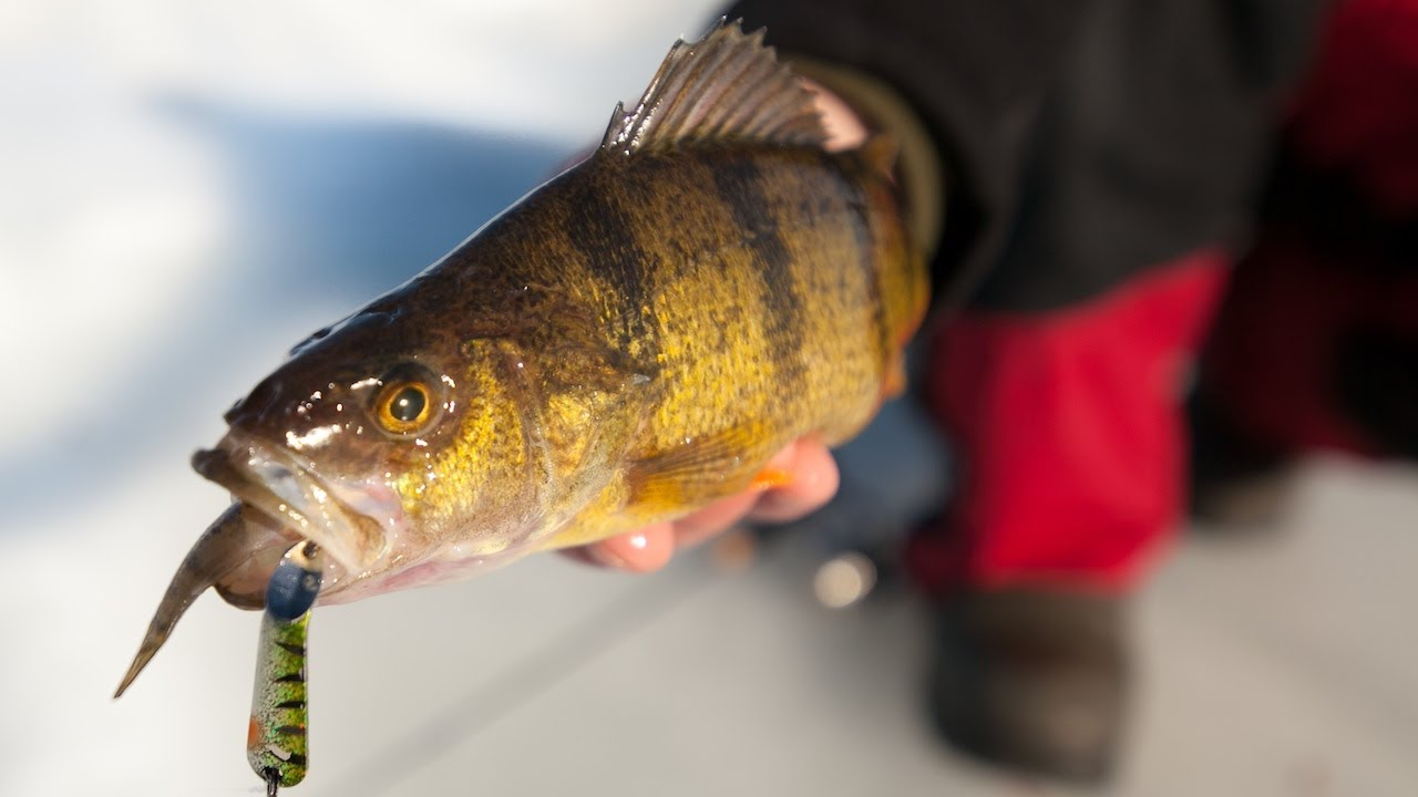 ice fishing perch in depth outdoors ice