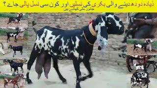 38 | Goat Farming in Pakistan/India | ذیادہ دودھ دینے والی بکری کی نسلیں | بکری کون سی نسل پالی جاۓ