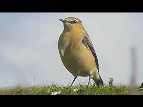 Close inspection of Male & female Wheatear's (Oenanthe oenanthe) at Thorpe Marsh Nature Reserve, Spring 2012.