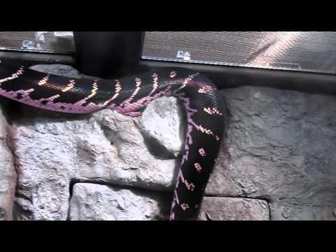 ベーレンパイソン Boelen's Python 円山動物園