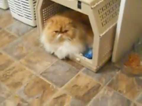 Huge long haired persian cat shows teacup poodles who's boss.