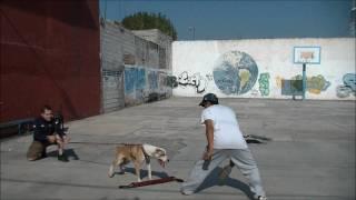 American Pitbull Terrier - Guardia y Protección (Inicios) -  Rëich