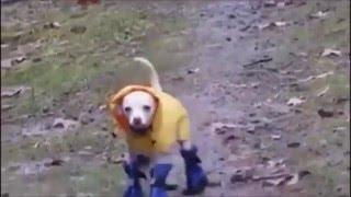 Clip hài vui nhộn: khi chó mang giày
