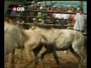 مسابقةَ صراع الخيول