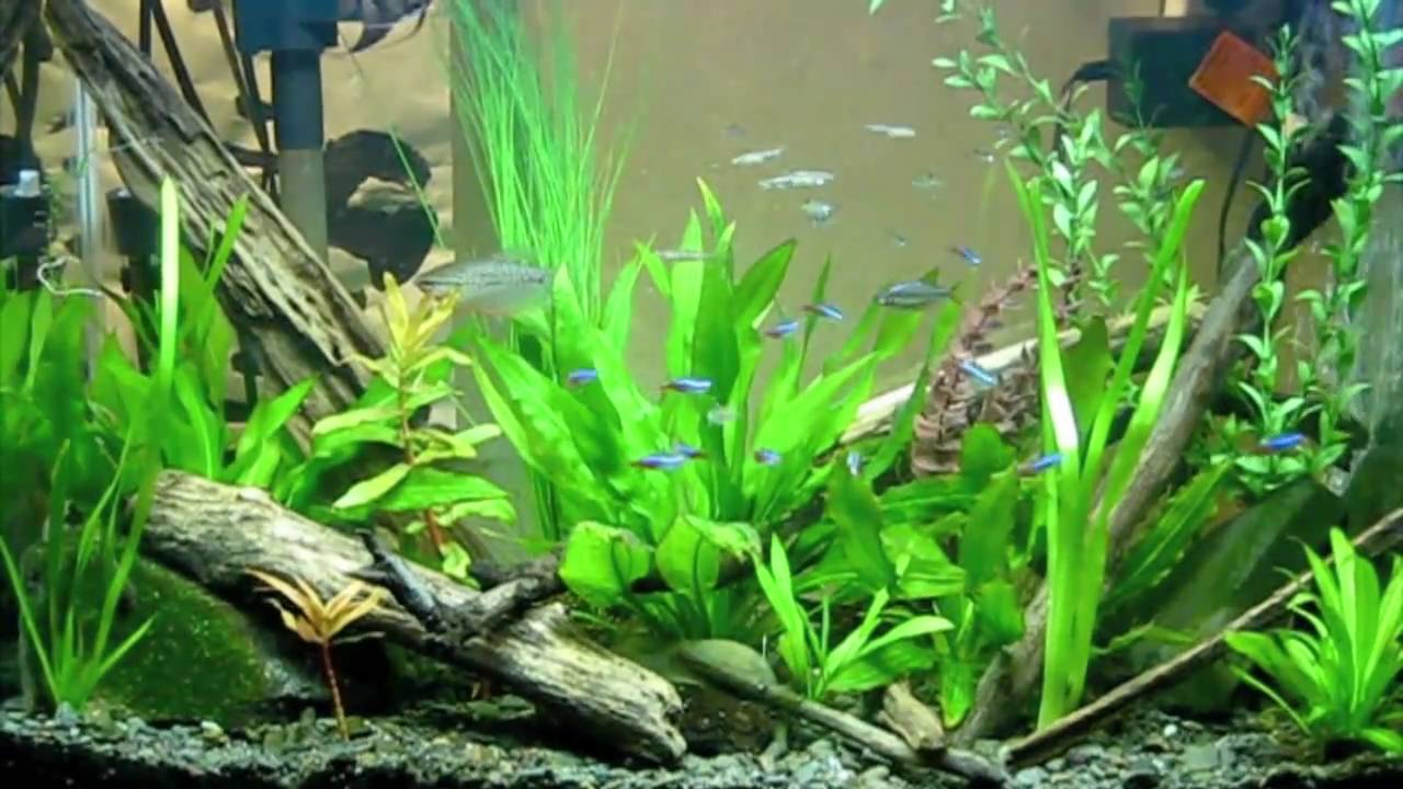 30 gallon freshwater community tank youtube for Freshwater community fish