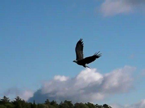 golden eagle hunting wolves. A Golden Eagle displays