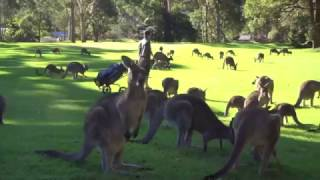 Fleet of Kangaroos Land on Golf Course